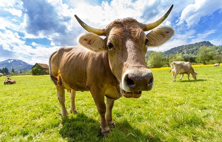 благодаря корове получается сыворотка