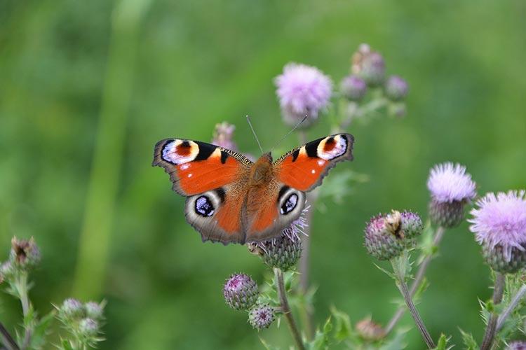 репейник с бабочкой
